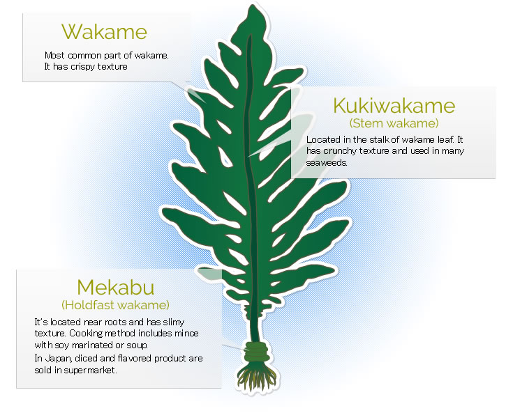 Different_parts_of_wakame_and_its_characteristics on Parts Of A Seed